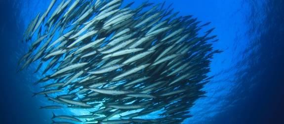 Der Barracuda ist ein sich schnell bewegender Fisch, der nie alleine agiert und für seine Teamarbeit bekannt ist. Wenn es für unsere eigenen Mitarbeiter oder für Geschäftspartner ist; Teamwork ist im Streben nach Perfektion essentiell.